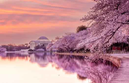 Washington D.C & it's cherry blossoms Spring Time